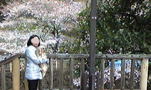 桜チェック3